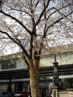 060326nihonbashi_no_sakura_001