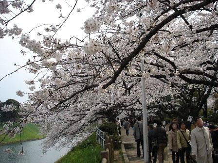 2_chidorigafuchi_kouen_sakura_no_tonnner_1