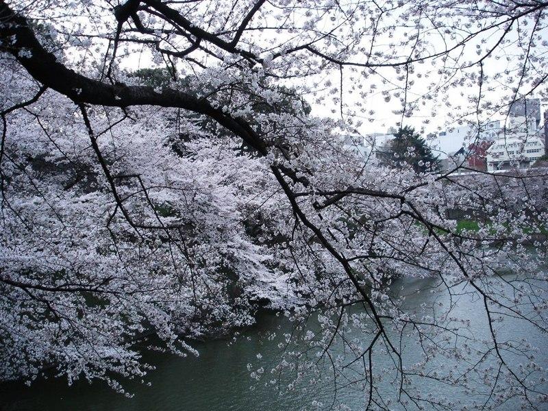 8_tayasu_mon_no_sakura_060330_049