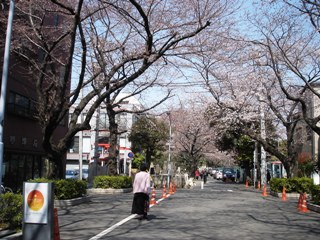 9_sakura_namiki_037