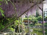050505_05_kameido_tenjin_fujimaturi